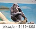 チンパンジー(天王寺動物園) 54894868