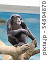 チンパンジー(天王寺動物園) 54894870