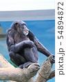チンパンジー(天王寺動物園) 54894872