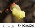 ヒュウガミズキの花 54920820