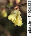 ヒュウガミズキの花 54920822