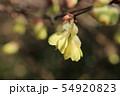ヒュウガミズキの花 54920823