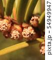 イチイの花(雄花) 54949947