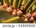 イチイの花(雄花) 54949948