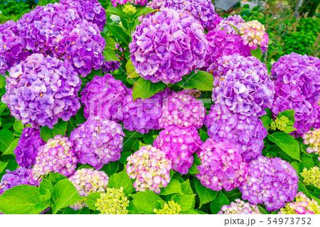 和風イメージ「紫陽花」 54973752