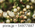 ユキヤナギの蕾(つぼみ) 54977887