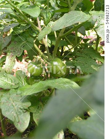 やっと実をつけた家庭菜園のミニトマト 54982713
