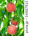 Organic Japanese Peach. Peach Tree. Peach Farm  54987915
