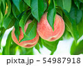 Organic Japanese Peach. Peach Tree. Peach Farm  54987918