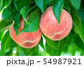 Organic Japanese Peach. Peach Tree. Peach Farm  54987921