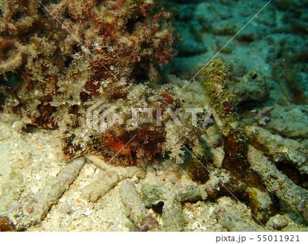 風景に同化するオニカサゴ 危険 毒 有毒 擬態 55011921