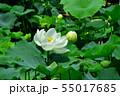 行田古代蓮の花 55017685