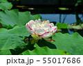 行田古代蓮の花 55017686