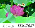 行田古代蓮の花 55017687