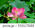 行田古代蓮の花 55017688