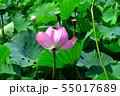 行田古代蓮の花 55017689