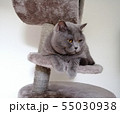 British Short Hair cat sitting on claw sharpener and looking away 55030938