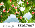 Organic Ripe Peaches on a Peach Tree. Japan 55037907