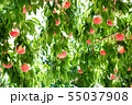 Organic Ripe Peaches on a Peach Tree. Japan 55037908