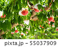 Organic Ripe Peaches on a Peach Tree. Japan 55037909