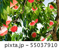 Organic Ripe Peaches on a Peach Tree. Japan 55037910