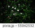 イヌツゲ 咲き始めた白い小花 55042532