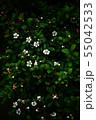 イヌツゲ 咲き始めた白い小花 55042533