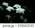 咲き始めた、コデマリの花 55042535