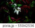 セイヨウイワナンテン 白い花と紅い若葉 55042536