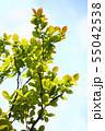 新緑のモミジ 55042538
