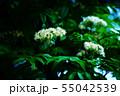 ナナカマドの白い花 55042539