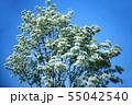 青空に咲く、ヒトツバタゴの花 55042540
