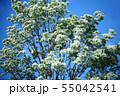 青空に咲く、ヒトツバタゴの花 55042541