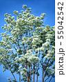 青空に咲く、ヒトツバタゴの花 55042542