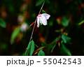 椿のエリナ 薄ピンク色の小花 55042543