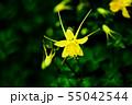 西洋オダマキ 黄色い花 55042544