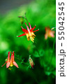 西洋オダマキ 赤い花 55042545