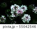 アリッサム 白と紫色の花 55042546
