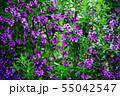 ハーブ イブキジャコウソウの花 55042547