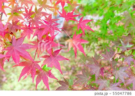 色付いたたくさんの紅葉 55047786