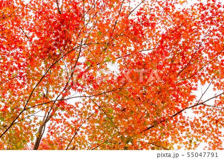 色付いたたくさんの紅葉 55047791