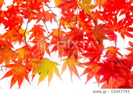 色付いたたくさんの紅葉 55047793