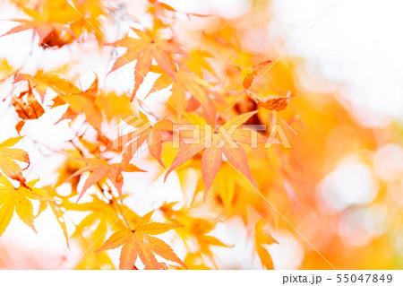 色付いたたくさんの紅葉 55047849
