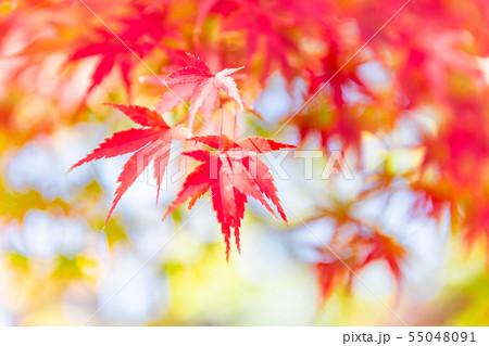 色付いたたくさんの紅葉 55048091