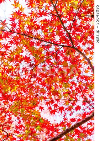 色付いたたくさんの紅葉 55048095