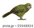 カカポ(フクロウオウム)のイラスト/Kakapo Illustration 55048924