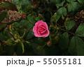 バラ(8) 55055181