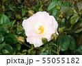 バラ(9) 55055182