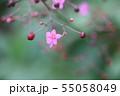 ハゼラン(爆蘭)の花 55058049
