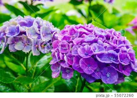 幸手権現堂の紫陽花 55072260
